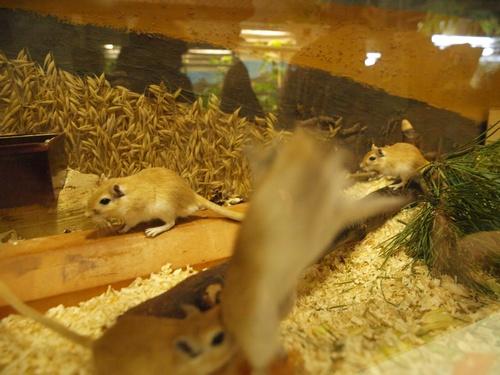 Mongolische Rennmäuse in der Biologie-Station des Dathe-Gymnasiums